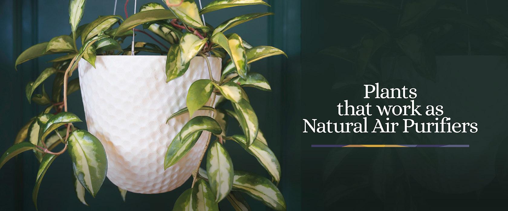 Indoor-Plants-Air-Purifiers-Blog-Header