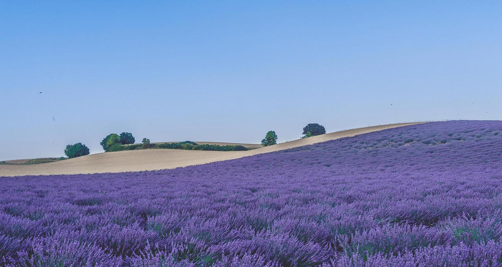 digital lavender header